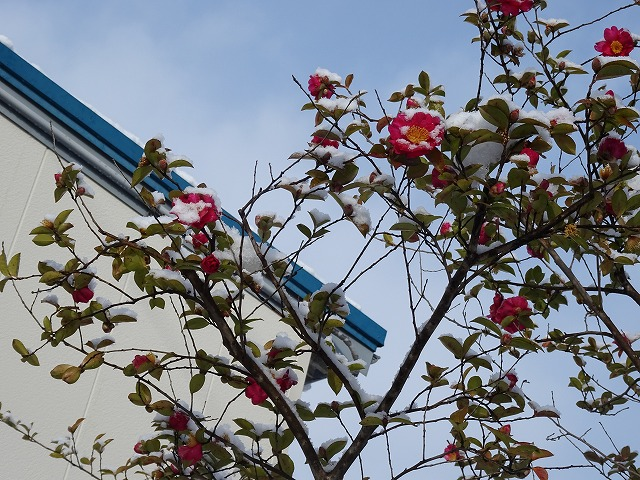 雪を被りながらも咲く椿