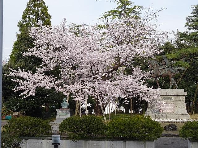 """""""春光の桜"""" 今年もきれいに 咲きました"""