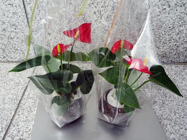 今月の誕生日プレゼントの花(アンスリュウム)