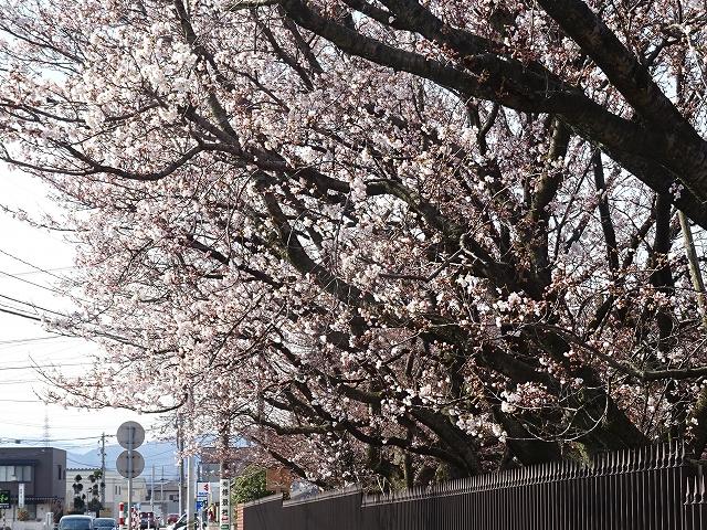 留桜(5日の桜)