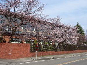 5日現在の桜風景
